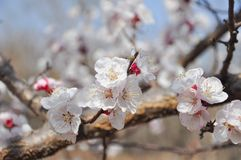 White  peach blossom in spring time.  royalty free stock photo