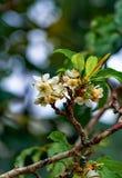 White peach blossom.  stock photos