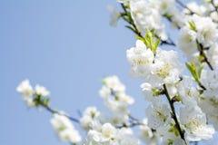 White peach blossoms. Close up white peach blossoms under blue sky stock photography