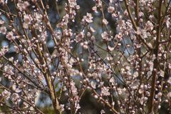 White peach blossoms #3. Detail of white peach blossoms that bloom in spring royalty free stock photos
