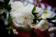 White Peach blossoms in March. Beautiful landing in the mountains royalty free stock image