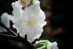 White Peach blossoms in March. Beautiful landing in the mountains stock photos