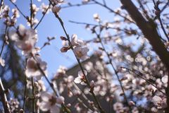 White peach blossoms in Spring. Detail of white peach blossoms that bloom in spring stock photo