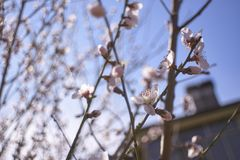 White peach blossoms in Spring #2. Detail of white peach blossoms that bloom in spring royalty free stock photo