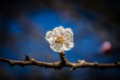 White peach flower at the park. During a walk royalty free stock images