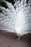 White peacock. With flowing tail Stock Images