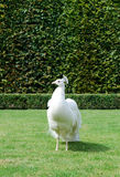 White Peacock. Photo of beautiful white peacock in the city garden Stock Images