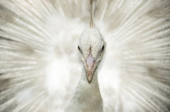White peacock. A white peacock displaying feather royalty free stock photography