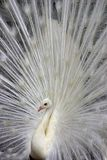 White Peacock 2. Close up of a White Peacock with it's tail feathers spread,looking left Stock Photography