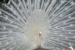 White peacock. Unique white peacock with tail feathers spread Royalty Free Stock Images