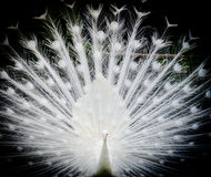 White peacock Stock Photo