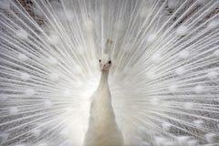 White peacock. A white peacock displaying feathe royalty free stock photos