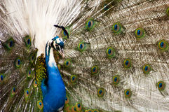 White Peacock. Colorfull Peacock with white feathers Stock Image