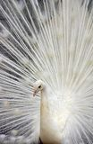 White Peacock 3. Close up of a White Peacock with it's Tail feathers spread royalty free stock photography