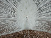 White Peacock Stock Image
