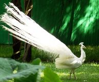 White peacock. A view of a white peacock (not albino) strutting across a green yard with extravagant white tail feathers Stock Photo