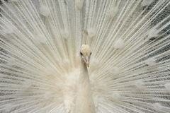 White Peacock. What a beauty stock image