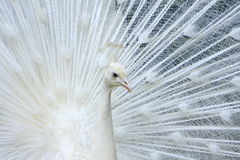 White Peacock Royalty Free Stock Photography
