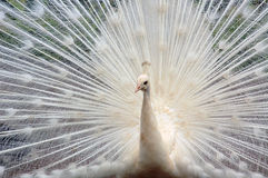 Free White Peacock Royalty Free Stock Photography - 998097