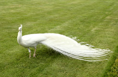 White peacock royalty free stock photo
