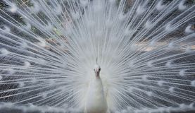 White Peacock Royalty Free Stock Image
