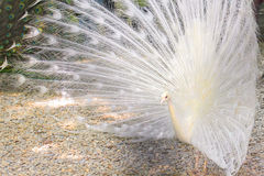 White peacock Royalty Free Stock Photo