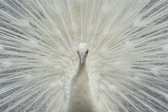 White Peacock. Beautiful and curious white peacock portrait Royalty Free Stock Images