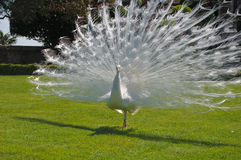 White peacock at Bella island Stock Images