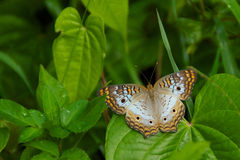 White peacock butterfly Royalty Free Stock Images