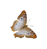 White Peacock Butterfly Stock Image