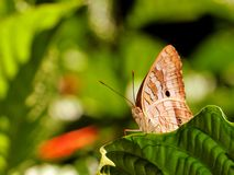 White peacock butterfly in aviary Royalty Free Stock Photo