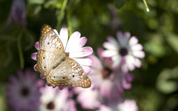 White Peacock Butterfly Colorful Flower Garden Stock Photography