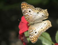 A White Peacock Butterfly feeding on red flower. With with wide open wings Royalty Free Stock Photo