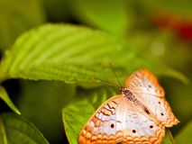 White peacock butterfly on green leaf, Florida Royalty Free Stock Photography