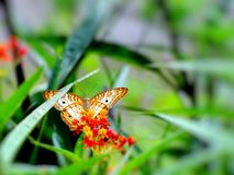 White peacock butterfly on milkweed , Florida Royalty Free Stock Images