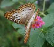 White Peacock butterfly on pink flower. Royalty Free Stock Photo