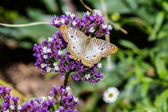 White Peacock Butterfly on purple flowers, green background. White Peacock butterfly on purple sea foam flowers; green foliage in the background. In Arizona`s royalty free stock photos