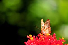 White peacock butterfly on red & yellow flowers Stock Photo