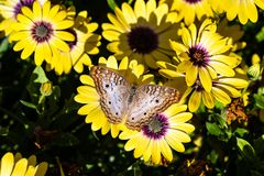 White Peacock Butterfly on yellow flower, green background. White Peacock butterfly on patch of bright yellow flowers; green foliage in the background. In stock photos