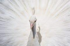 white peacock Royalty Free Stock Photos