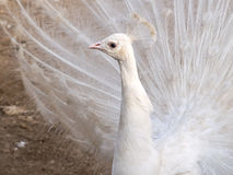 White Peacock 2 Royalty Free Stock Image