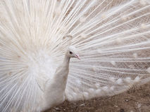 White Peacock 3 Royalty Free Stock Photos