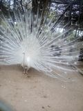 White peacock dancing in woods royalty free stock images