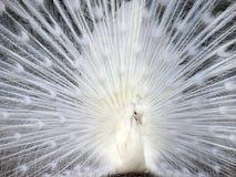 White peacock displaying his beautiful tail Royalty Free Stock Photos