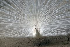 White peacock close up Stock Photography