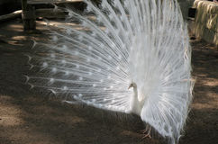 White Peacock with Expanded Feathers and Plummage. White peacock with his feathers flared for all to see Stock Photos