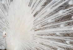 White peacock feathers Royalty Free Stock Images