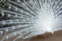 White peacock pecking. White peacock with the feathers extended pecking stock images