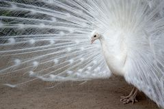 White peacock with the feathers extended stock image