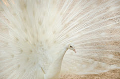 White peacock Royalty Free Stock Photos